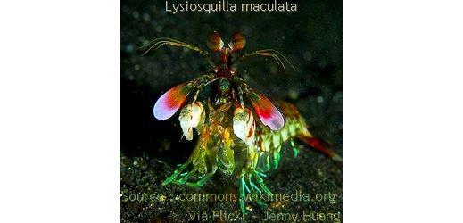 Squille ou crevette-mante via http://toutoblog.unblog.fr/2014/12/01/squille-ou-crevette-mante/