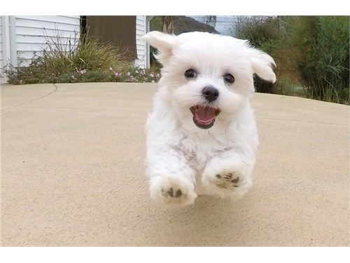 Female Akc Maltese Puppy 600 Recycler Com Maltese Puppy Puppies Pets