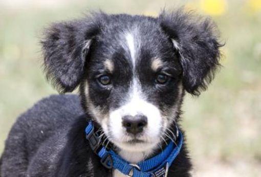 Colorado Springs Co Puppy Border Collie Meet Peter Pan A Dog For Adoption Dog Adoption Puppy Adoption Border Collie