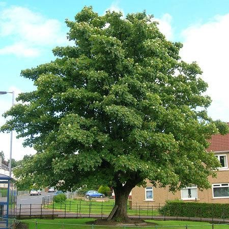 The Fastest Growing Sycamore -  The American Sycamore is very popular for residential landscaping because of its fast growth (up to 6 ft. a year) and thick canopy... which provides tons of shade.   You can count on your American Sycamore to quickly grow into a symmetrical shade tree or ornamental tree. Just plant and...