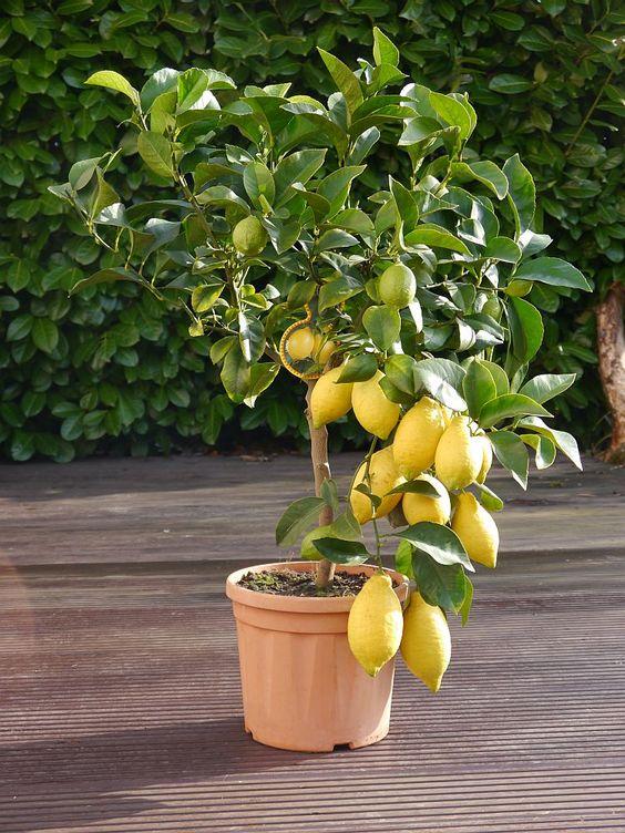 Ein toller Zitronen Baum zur Hochzeit - das perfekte Geschenk für das junge Glück