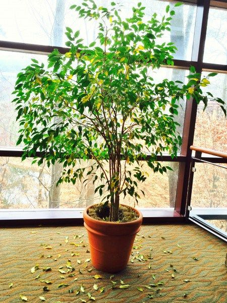 Why Your Ficus Tree Just Dropped Its Leaves  {I had one for several years, moved it from house to house across Texas and it survived fine.  It just got to big to keep inside and had to go. }