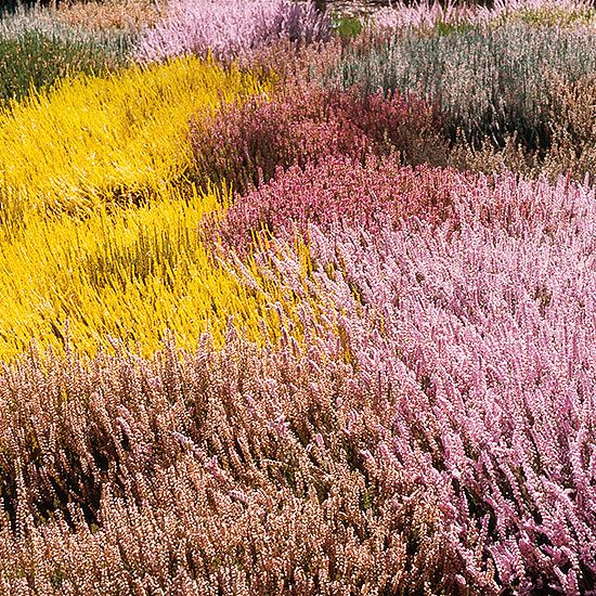 All About Growing Heathers And Heaths In The Garden Heather Plant Heather Gardens Year Round Colors