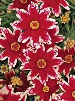 Ruby Frost Coreopsis: Die weißen Ränder machen Sie zum Hingucker im roten Blumenbeet.