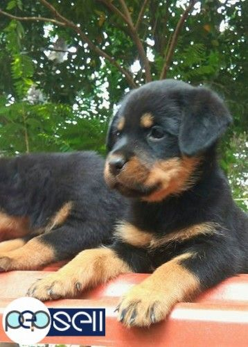 Rottweiler Puppies For Sale At Kochi Rottweiler Puppies For Sale