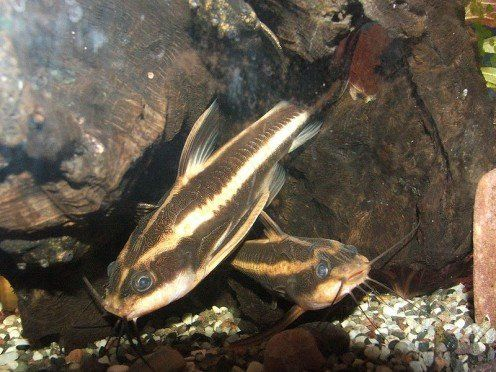 10 Types Of Catfish For A Freshwater Aquarium Aquarium Catfish Freshwater Catfish Catfish