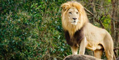Tiere-Loewe-Safari-Zoo-Maehne_152x69.jpg