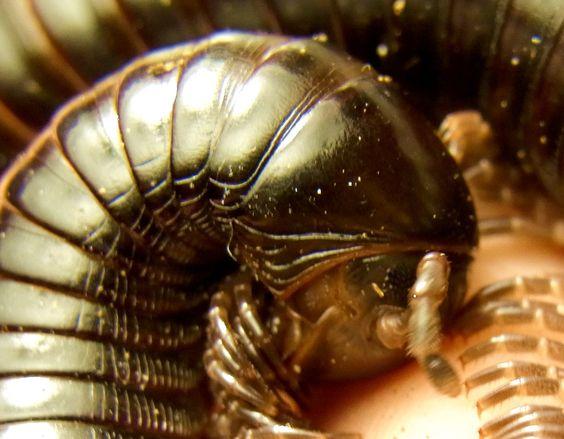 echinops - Spirostreptidae sp. 11