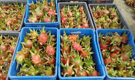 Amigo agricultor compro toda tu produccion de pitahaya roja pago los mejores precios del mercado .al contado llamame al 0985747831