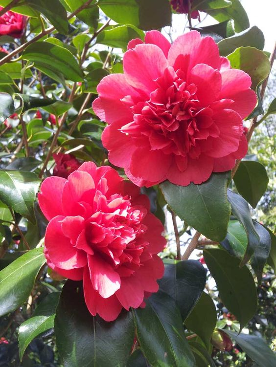 A camellia in the gardens of Sharpham House on the Sharpham Estate, Spring 2015.  Pin us at www.pinterest.com/sharphamtrust Like Sharpham Trust at www.facebook.com/SharphamTrust Follow us @SharphamTrust Visit us at www.sharphamtrust.org