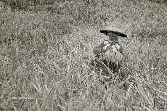 Bali / Indonesien: Eine Frau bei der Reisernte.  #Streetphotography #Streetfotografie #Bali