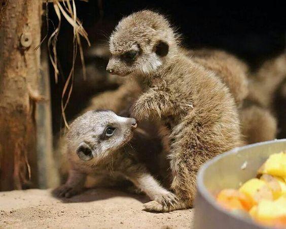 Awww cute little meerkat puppies