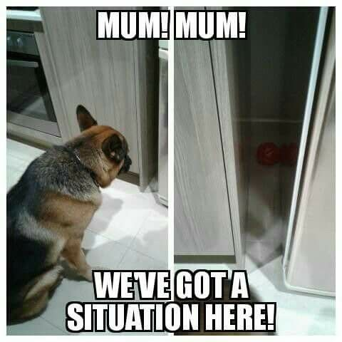 My Kitty Always Gets His Toys Stuck Under Furniture And Appliances German Shepherd Puppy Funny German Shepherd Funny Animal Memes Clean