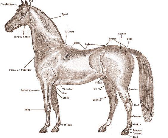 Horse diagram quiz diagram pinterest horse anatomy and anatomy ccuart Images