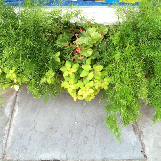 Planter box plant combination...can asparagus ferns stay out all year?