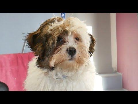 Youtube Havaneser Hundehaarschnitte Welpen