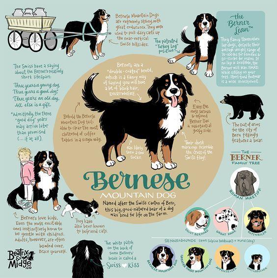 Bernese Mountain Dog Infographic Print Mountain Dogs Mountain