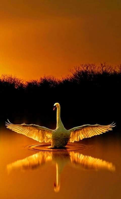 Swan - Bird of love and hope.: