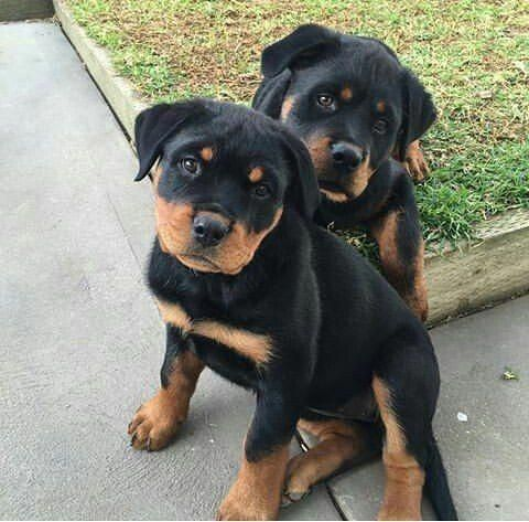 Pin By Centurion On Rottweiler With Images Rottweiler Puppies