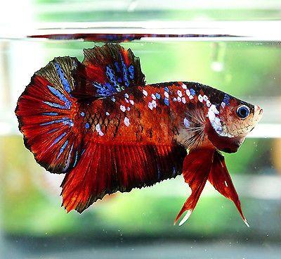 Live betta fish male big one fancy super red koi galaxy for Male koi fish