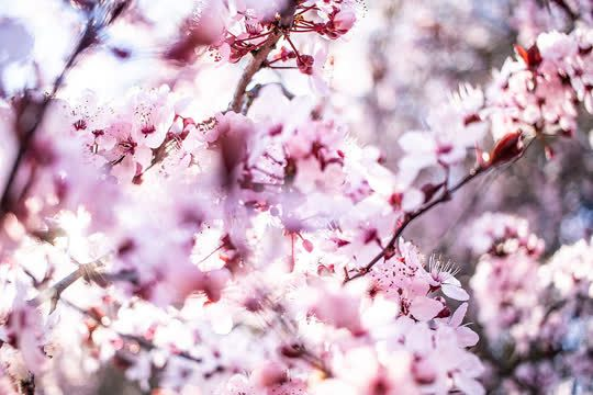 Lionandramphotography A Comfort Zone Is A Beautiful Place But Nothing Ever Grows There It Was A Hard Winte Flowers Nature Cute Girl Wallpaper Cherry Blooms