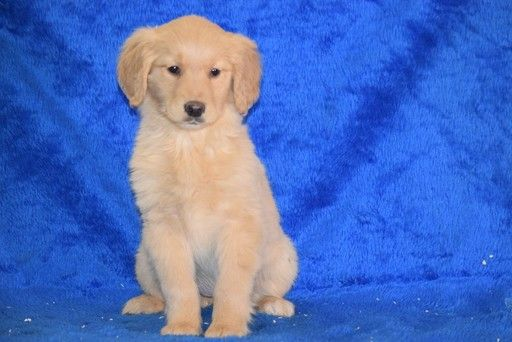 Golden Retriever Puppy For Sale In Fredericksburg Oh Adn 65816