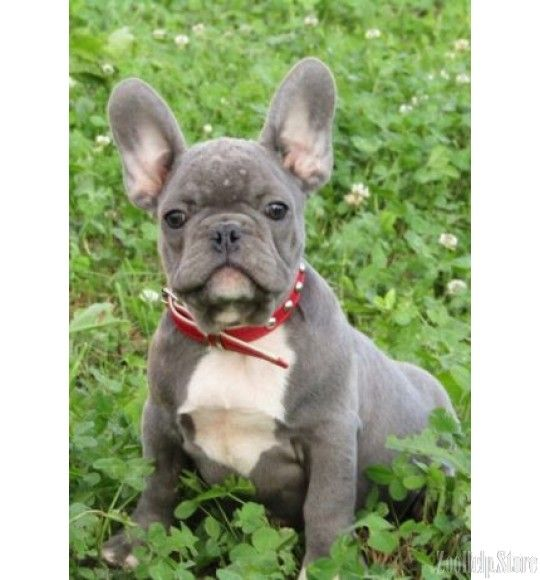 French Bulldog Exclusive Puppies Price 1 600 French Bulldog