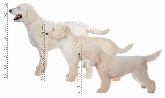 How Big Do Teddy Bear Dogs Grow