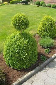 Bildergebnis für buchsbaum bild
