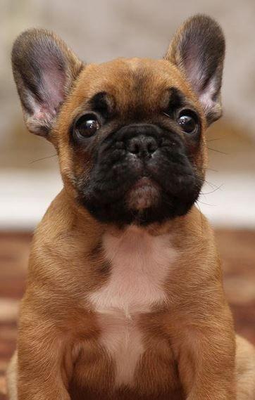 Süßer kann ein Hundeblick nicht sein - Französische Bulldogge <3