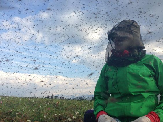 Worst swarm of Alaskan mosquitoes ever?