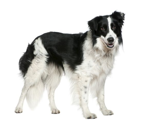 1,022: the number of objects identified by 7 year old Border Collie, Chaser
