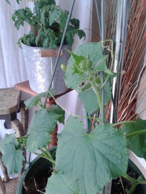 Cucumber: