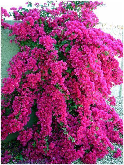 """Bougainvillea """"Barba Kukkia"""