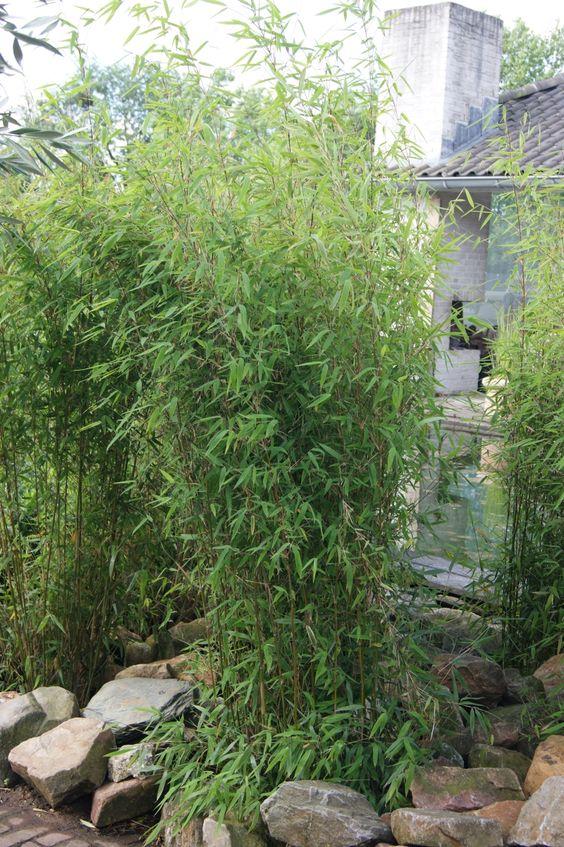 Fargesia Obelisk als Einzelpflanze