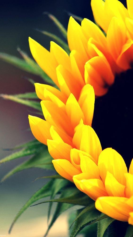 Sunflowers -iPhone5 Wallpaper | iPhone5 Wallpaper ...