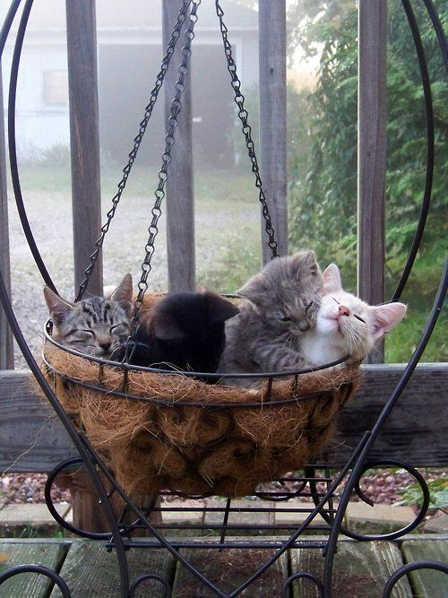 "* * GREY TABBY KITTEN: "" Whys don'ts one  of ya fat asses exit dis basket? ""  [WHITE CAT:  "" Simples. We wuz here firsts,rug vermin."""