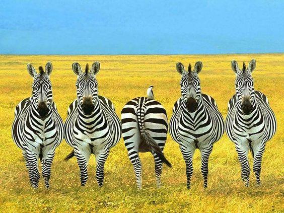 Zebra with Attitude