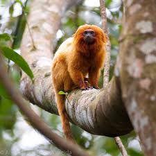 mico leao dourado - Pesquisa Google