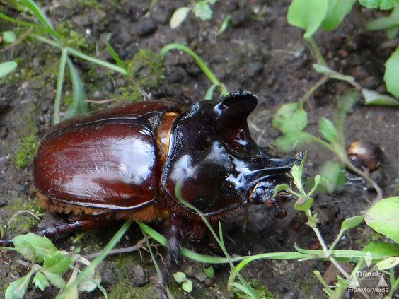 https://flic.kr/p/xByCW2 | ESCARABAJO RINOCERONTE (Oryctes nasicornis) | rebasando a un caracol, como la liebre a la tortuga