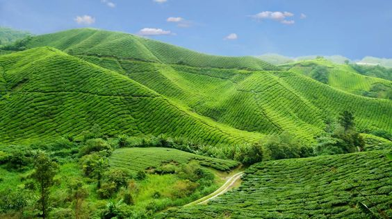 Self Drive - the Malaysian Peninsula - #TeaPlantation, #CameronHighlands, #Malaysia #Steppes A self-drive itinerary to Malaysia will naturally route south to north, taking in the main highlights of the Peninsular. From the south, Malacca, with its colonial history, Kuala Lumpur - the vibrant capital and further north the coastline and hill resorts of Cameron Highlands with its Straits Chinese influences.