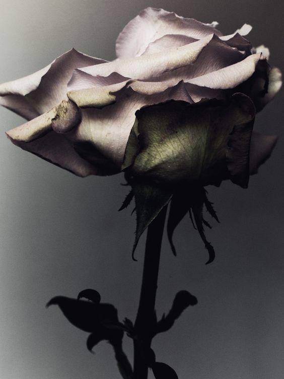 Rosa linda Foto Art
