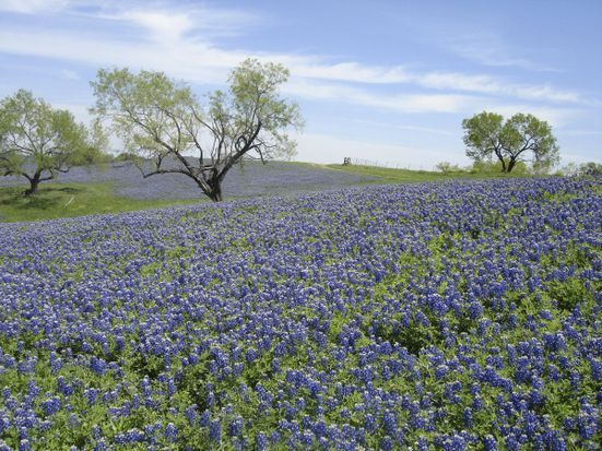 Pride of Texas - Bluebonnets in the Hill Country!