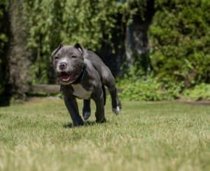 Blue Nose Pitbull Puppies For Free How To Get For Free Blue