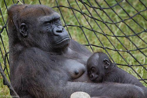 Ozala And Okanda Monkeys Funny Western Lowland Gorilla Gorilla