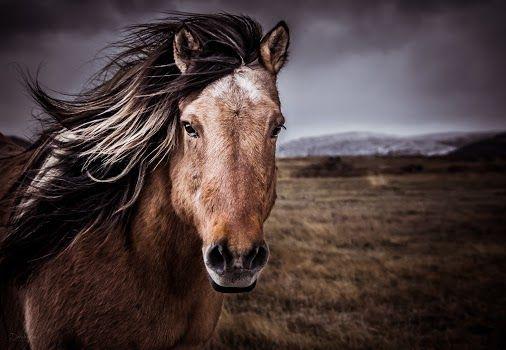 Derek Kind - Google+ - Two-Toned Equine model, somewhere in Iceland Resharing a…