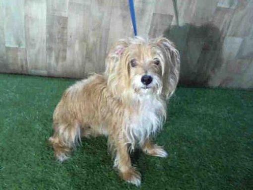 Orlando Fl Yorkie Yorkshire Terrier Meet Bentley A Dog For Adoption Yorkie Yorkshire Terrier Pets Dog Adoption