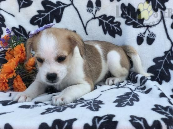 Pumpkin French Bulldog Poodle French Bulldog Mix Puppy For