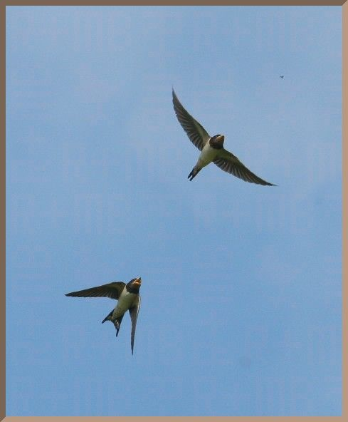 Swallows were diving everywhere this morning
