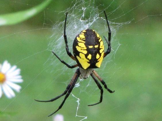 Argiope Aurantia Yellow Garden Spider Black And Yellow Garden Spider Massachusetts